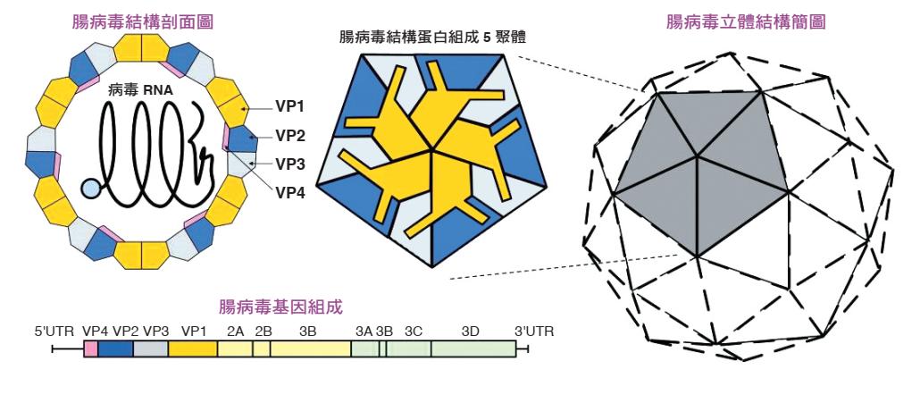 腸病毒 71 型病毒基本特徵圖
