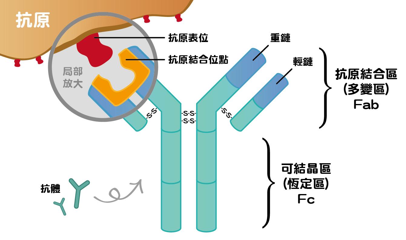 抗體構造介紹