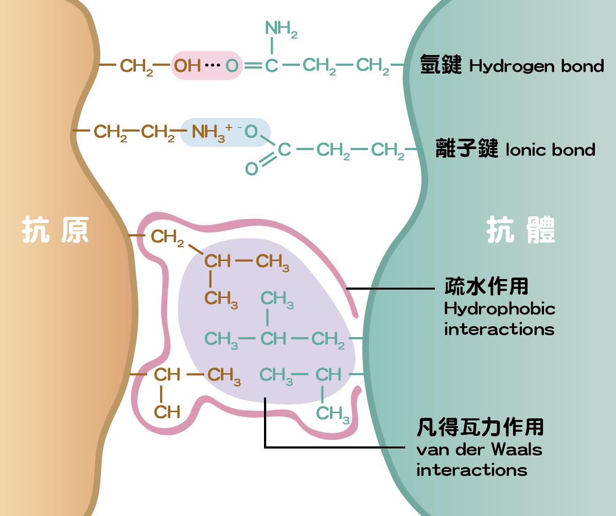 抗原與抗體的結合作用力